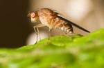 Fruchtfliege (Fruchtfliegen loswerden – Fruchtfliegenfalle selber machen)