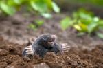 Maulwurf im Garten (Maulwurf im Garten – Was kann man tun?)
