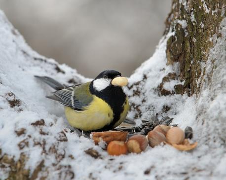 Wer im Winter Vögel füttert, sollte das Futter abwechslungsreich gestalten.