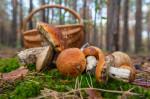 waldpilze (Essbare Pilze – Speisepilze sammeln, bestimmen und zubereiten)