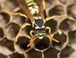 Wespennest entfernen (Wespennest entfernen – Was tun um Wespen zu beseitigen?)